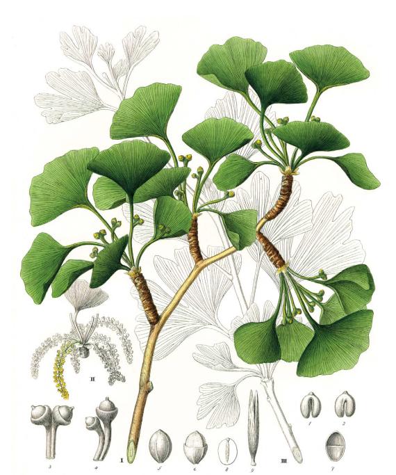 Вееровидные  листья  гинкго