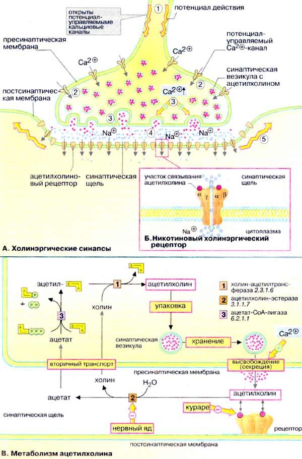 Физиология синапсов