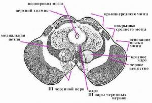 Физиология среднего мозга. Поперечный (вертикальный) разрез среднего мозга на уровне верхних холмиков