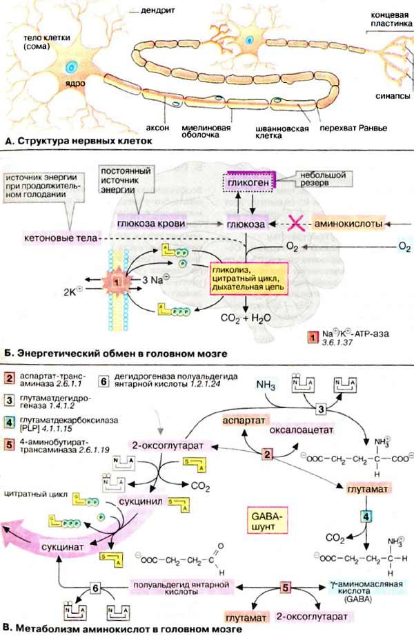Строение нервной ткани