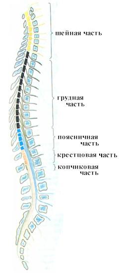 Структура спинного мозга