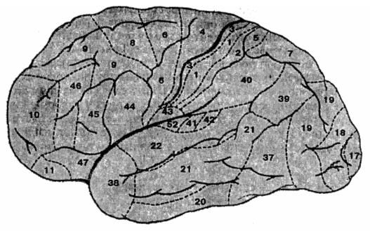 Цитоархитектонические поля коры больший полушарий (по К. Бродману)