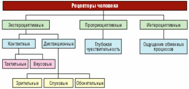 Рецепторы человека