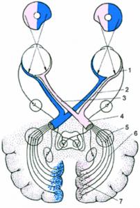 Схема строения зрительного анализатора