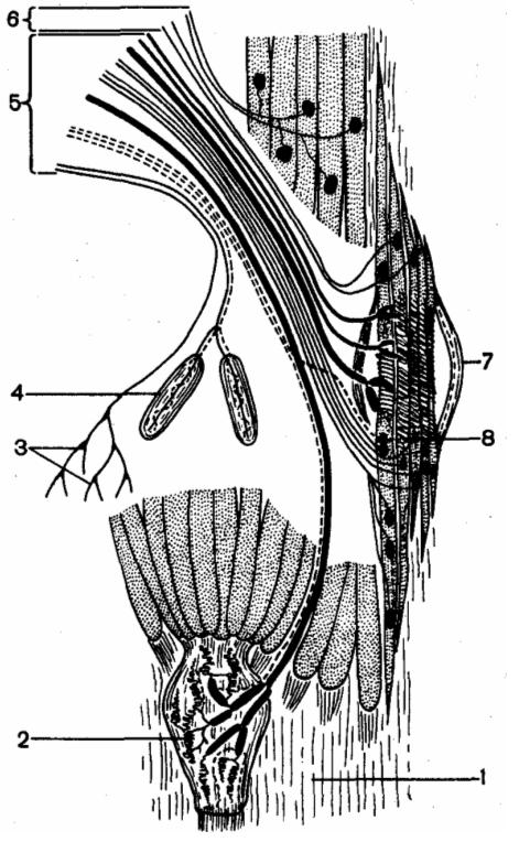 Эфферентная  иннервация скелетной мышцы