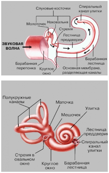 Улитка уха