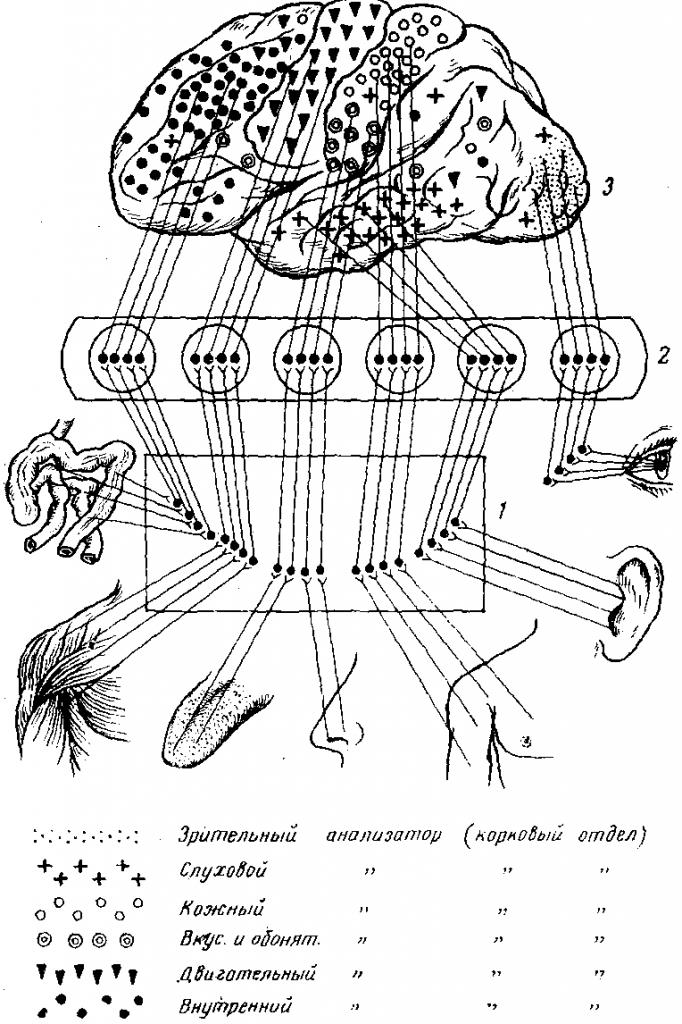 Схема связи отделов коры с рецепторами
