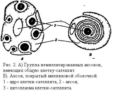 Группа немиелизированных аксонов, имеющих общую клетку-сателлит