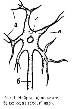 Строение нервной клетки