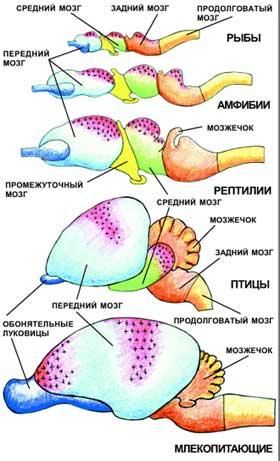 Головной мозг основных представителей позвоночных. Красный цвет и крестообразная штриховка показывают расположение ассоциативных зон мозга