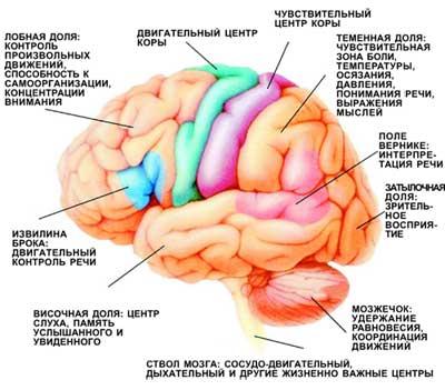 Функциональные зоны мозга. При нарушении кровоснабжения определенных участков мозга у больных возникают соответствующие неврологические симптомы.