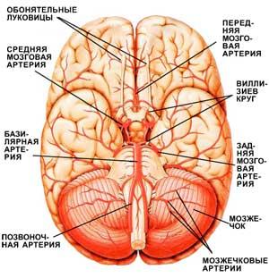 Головной мозг с кровеносными сосудами (вид снизу)