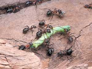 Благодаря коллективным усилиям муравьям удается справиться с довольно крупной добычей. Фото П. Корзуновича.