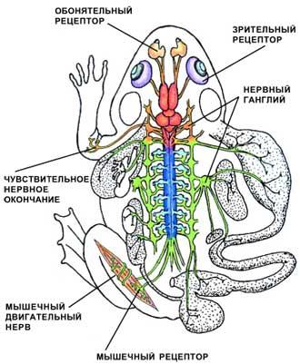 Основные центры нервной системы позвоночных на примере лягушки.