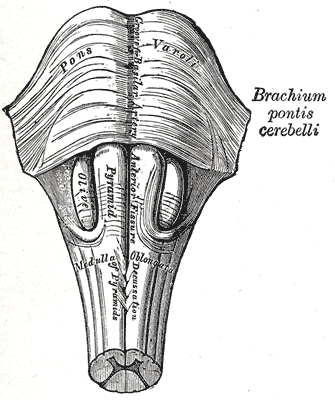 Продолговатый мозг и мост. Передняя поверхность