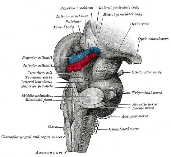 Средний и задний мозг