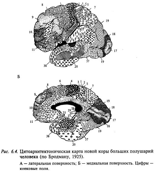 Цитоархитектоническая карта новой коры больших полушарий человека (по Бродману, 1925)
