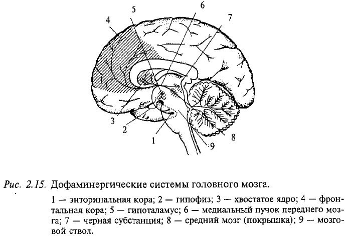 Дофаминергические системы головного мозга