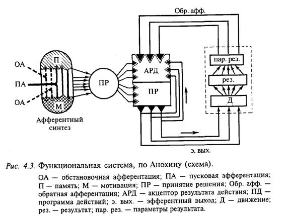 Функциональная система, по Анохину (схема)