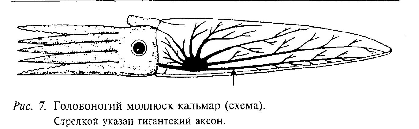 Головоногий моллюск кальмар (схема)
