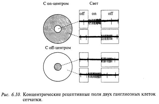 Концентрические рецептивные поля двух ганглиозных клеток сетчатки