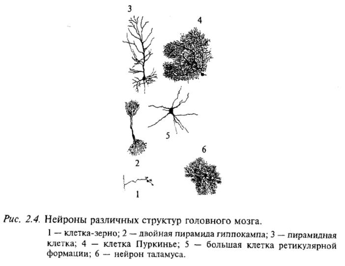 Нейроны различных структур головного мозга