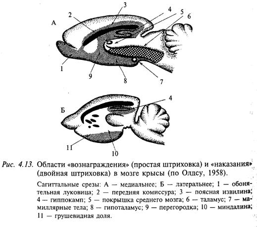Области «вознаграждения» (простая штриховка) и «наказания» (двойная штриховка) в мозге крысы (по Олдсу, 1958)