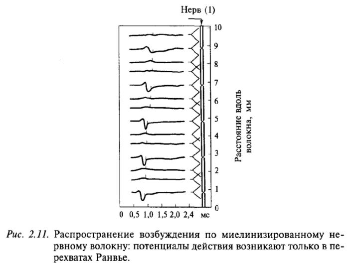 Распространение возбуждения по немиелинизированному нервному волокну: потенциалы действия возникают только в перехватах Ранвье