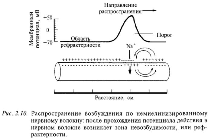 Распространение возбуждения по немиелинизированному нервному волокну: после прохождения потенциала действия в нервном волокне возникает зона невозбудимости, или рефрактерности