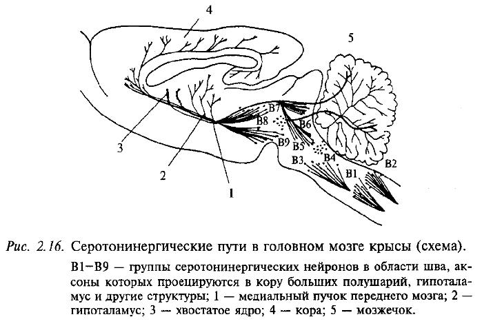 Серотонинергические пути в головном мозге крысы (схема)