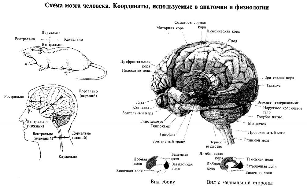 Схема мозга человека. Координаты, используемые в анатомии и физиологии