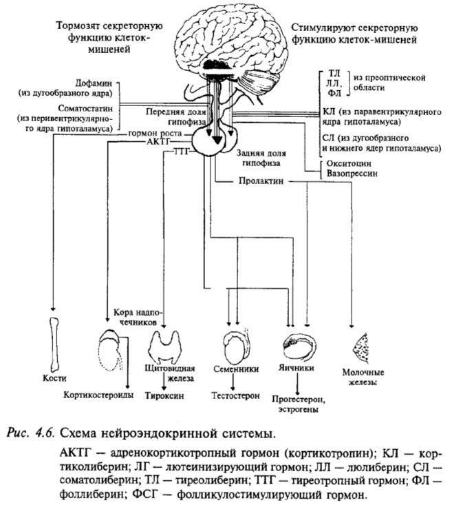 Схема нейроэндокринной системы