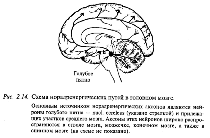 Схема норадренергических путей в головном мозге