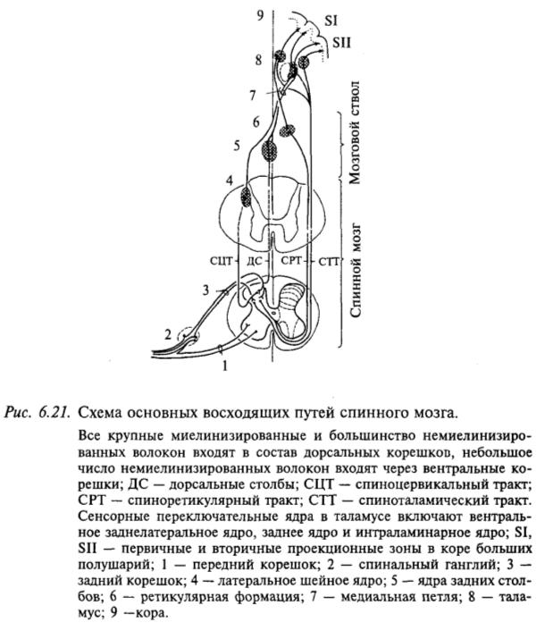 Схема основных восходящих путей спинного мозга