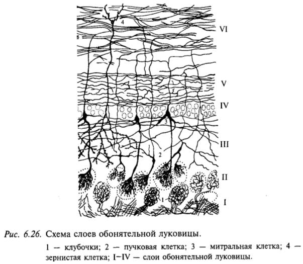 Схема слоев обонятельной луковицы