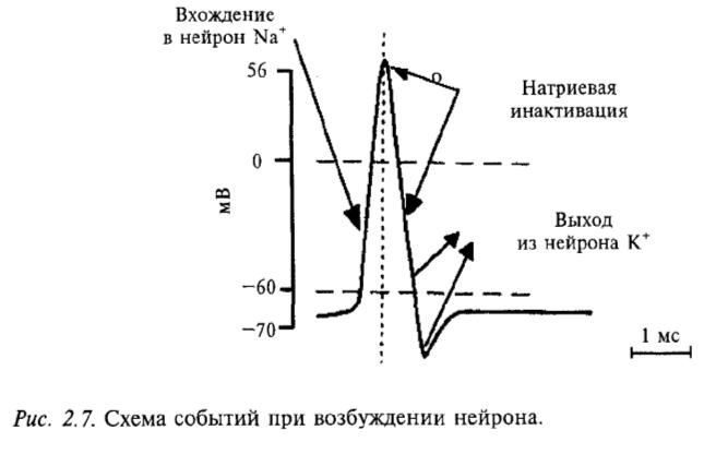 Схема событий при возбуждении нейрона