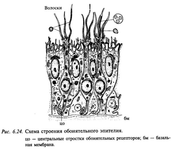 Схема строения обонятельного эпителия