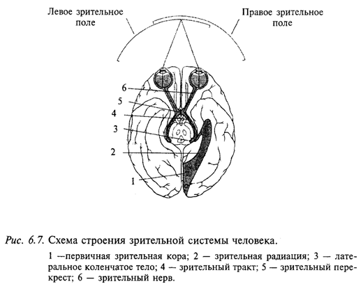 Схема строения зрительной системы человека