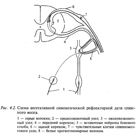 Схема вегетативной симпатической рефлекторной дуги спинного мозга