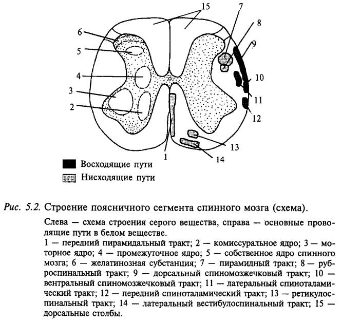 Строение поясничного сегмента спинного мозга (схема)