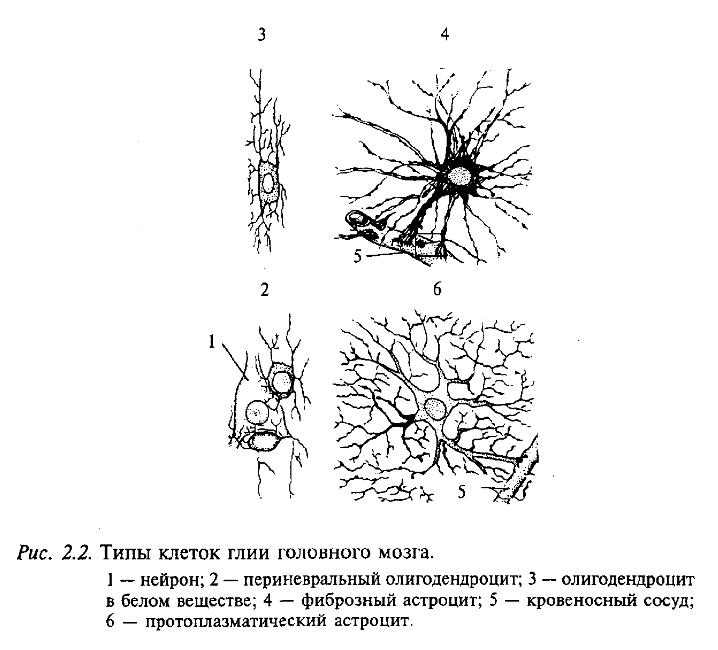 Типы клеток глии головного мозга