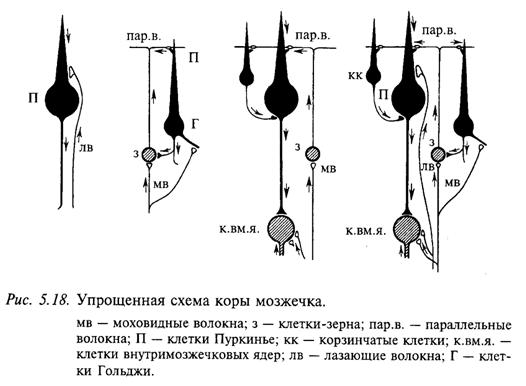 Упрощенная схема коры мозжечка