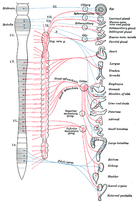 Вегетативная нервная система (автономная нервная система). Симпатический (показан красным) и парасимпатический (показан синим) отделы автономной нервной системы