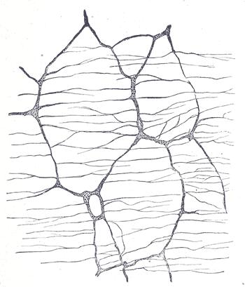 Ауэрбахово сплетение кролика. Увеличение 50:1. Рисунок из Анатомии Грея.