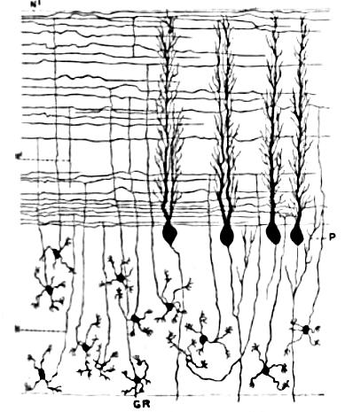 Клетки-зёрна, параллельные волокна и клетки Пуркинье с развитой системой дендритов («деревом дендритов»)