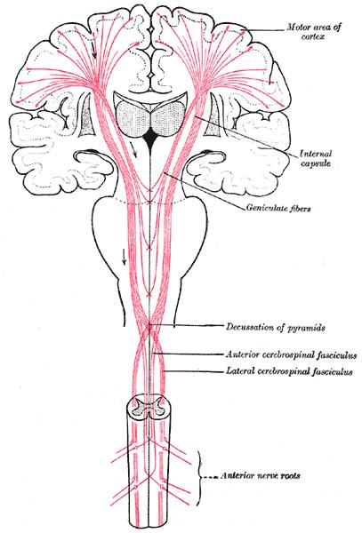 Корково-спинномозговой (пирамидный) путь (лат. tractus corticospinalis)