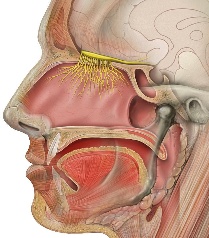 Схема внечерепной части обонятельного нерва, обонятельной луковицы и обонятельных трактов (показаны жёлтым)