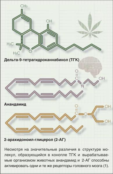 Каннабиноиды и их рецепторы