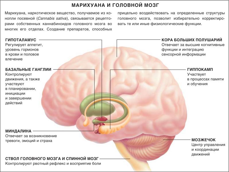 Марихуана и головной мозг