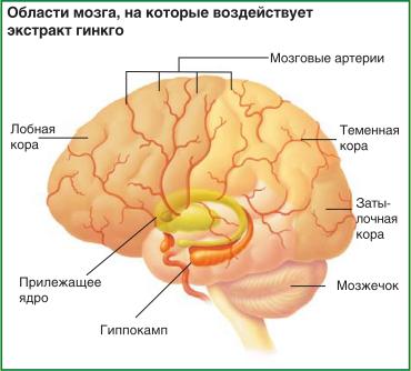 Области мозга, на которые воздействует экстракт гинкго